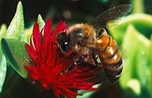 色情网站Pornhub公益创意 拯救蜜蜂