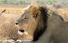 路虎广告:狮子..狮子..你肿么了..