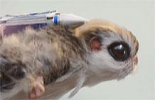 英国McVitie饼干动物系列广告之飞鼠篇