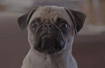 巴西狗粮品牌恶搞广告 狗狗知道太多了所以应该对他们好点