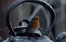 英国超市Waitrose 圣诞节广告 知更鸟
