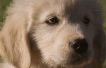 【字幕】GoDaddy超贱超级碗广告 回家的狗狗
